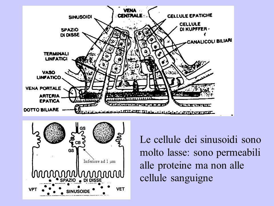 Inferiore ad 1 µm Le cellule dei sinusoidi sono molto lasse: sono permeabili alle proteine ma non alle cellule sanguigne