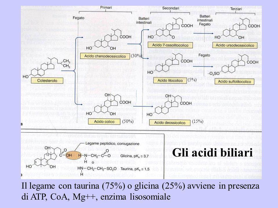 Gli acidi biliari Il legame con taurina (75%) o glicina (25%) avviene in presenza di ATP, CoA, Mg++, enzima lisosomiale (50%) (30%) (15%) (5%)