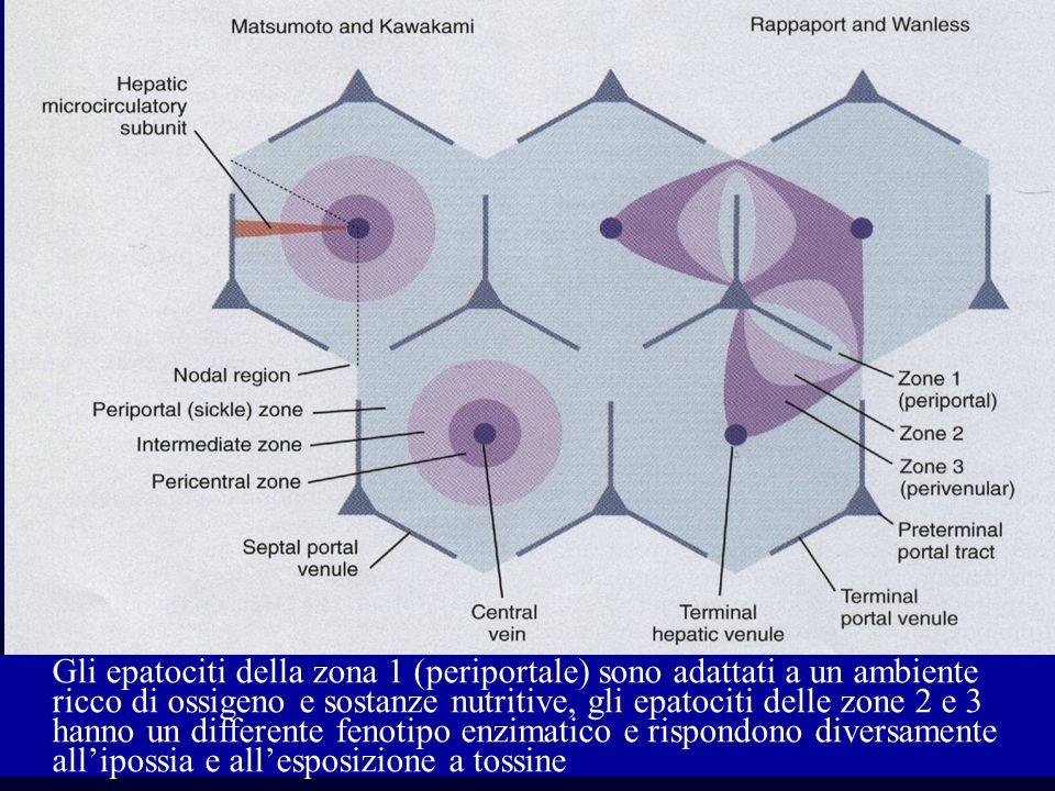 Gli epatociti della zona 1 (periportale) sono adattati a un ambiente ricco di ossigeno e sostanze nutritive, gli epatociti delle zone 2 e 3 hanno un d