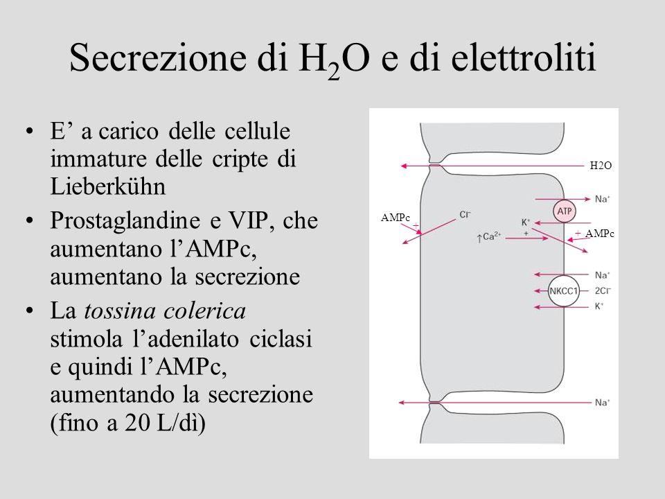 Secrezione di H 2 O e di elettroliti E a carico delle cellule immature delle cripte di Lieberkühn Prostaglandine e VIP, che aumentano lAMPc, aumentano