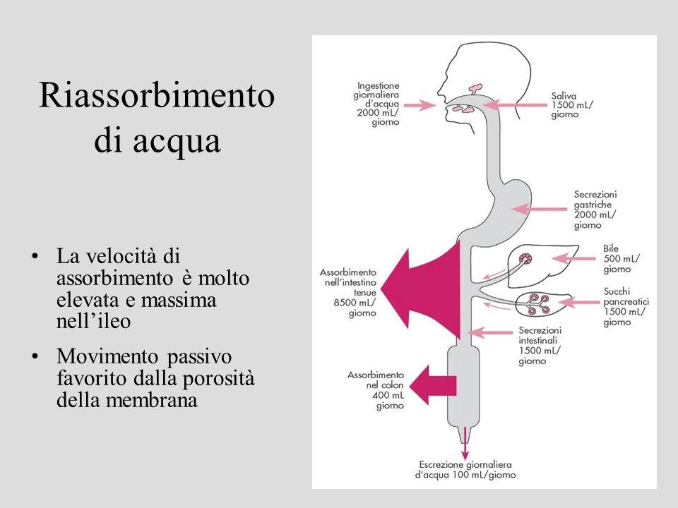 Riassorbimento di acqua La velocità di assorbimento è molto elevata e massima nellileo Movimento passivo favorito dalla porosità della membrana