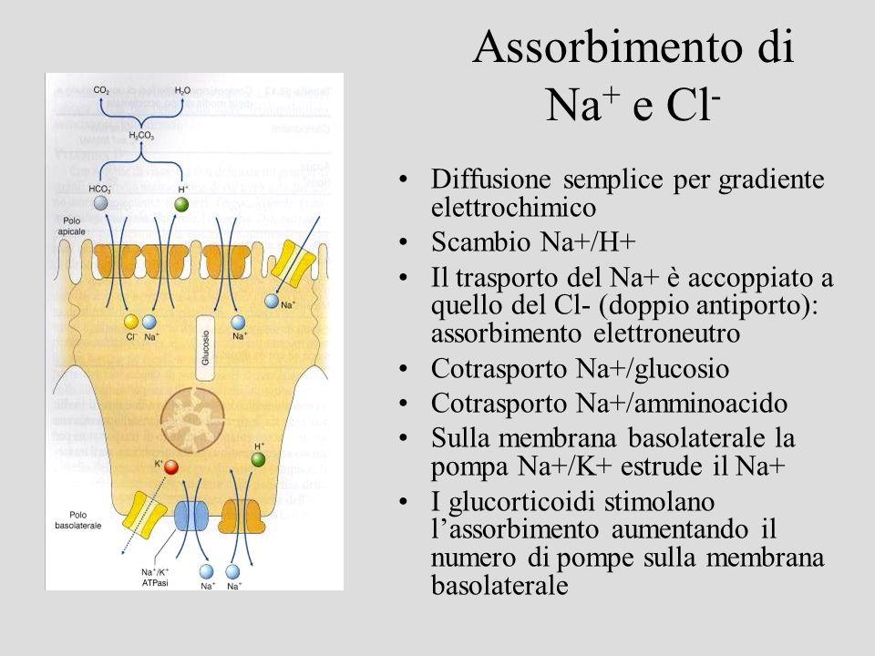 Assorbimento di Na + e Cl - Diffusione semplice per gradiente elettrochimico Scambio Na+/H+ Il trasporto del Na+ è accoppiato a quello del Cl- (doppio