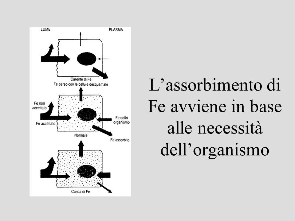 Lassorbimento di Fe avviene in base alle necessità dellorganismo