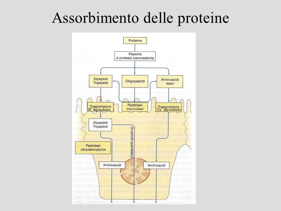 Assorbimento delle proteine H + dipendenteNa + dipendente