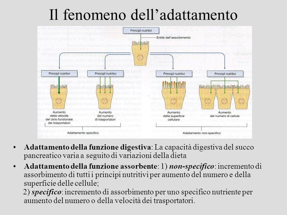 Il fenomeno delladattamento Adattamento della funzione digestiva: La capacità digestiva del succo pancreatico varia a seguito di variazioni della diet