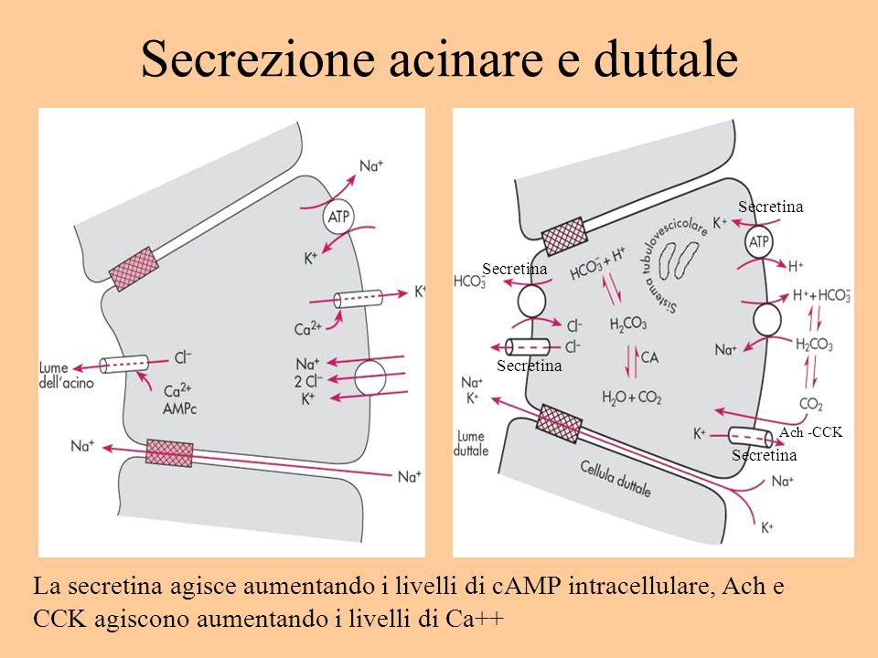 Secrezione acinare e duttale Secretina Ach -CCK La secretina agisce aumentando i livelli di cAMP intracellulare, Ach e CCK agiscono aumentando i livel
