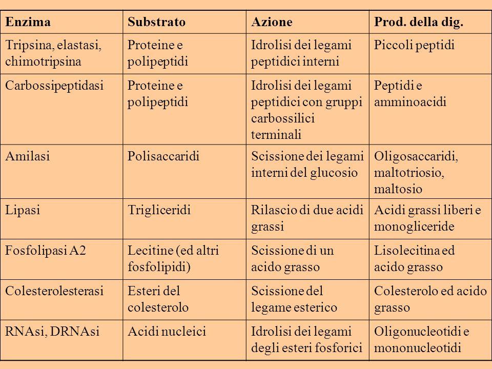EnzimaSubstratoAzioneProd. della dig. Tripsina, elastasi, chimotripsina Proteine e polipeptidi Idrolisi dei legami peptidici interni Piccoli peptidi C