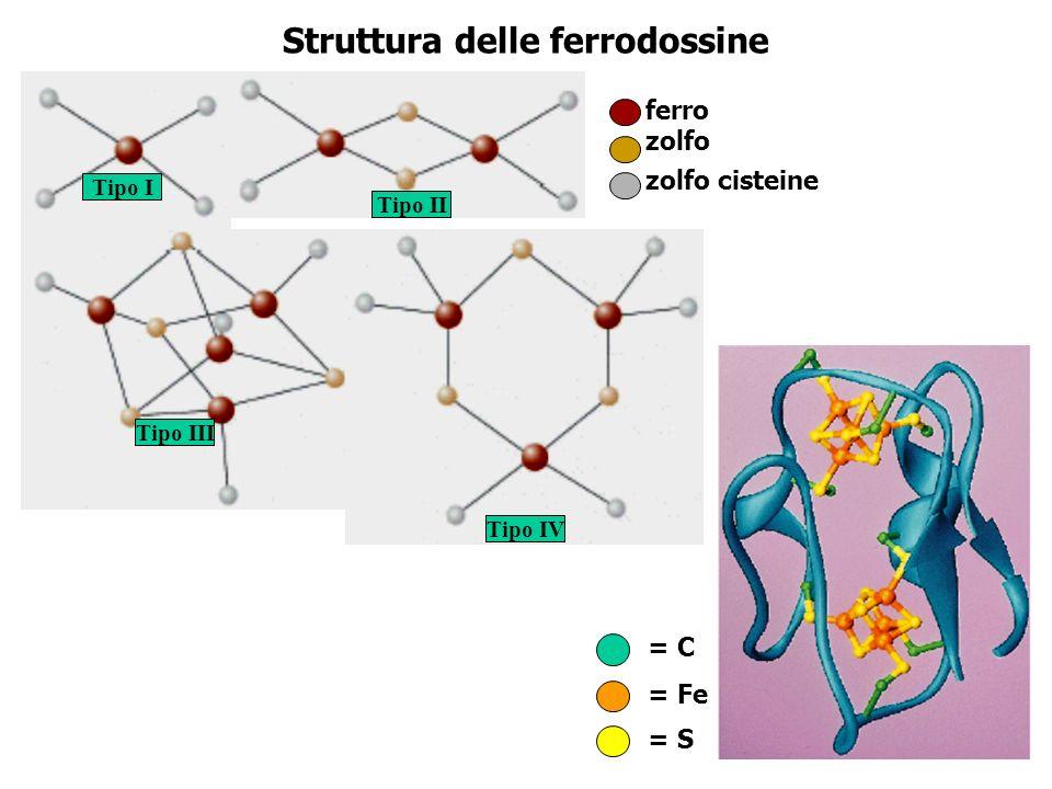 Struttura delle ferrodossine ferro zolfo zolfo cisteine Tipo I Tipo II Tipo III Tipo IV = C = Fe = S