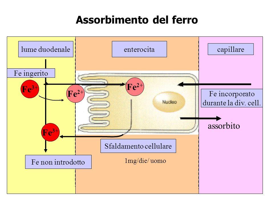 Assorbimento del ferro lume duodenale Fe non introdotto capillare Fe incorporato durante la div. cell. Sfaldamento cellulare enterocita Fe ingerito Fe