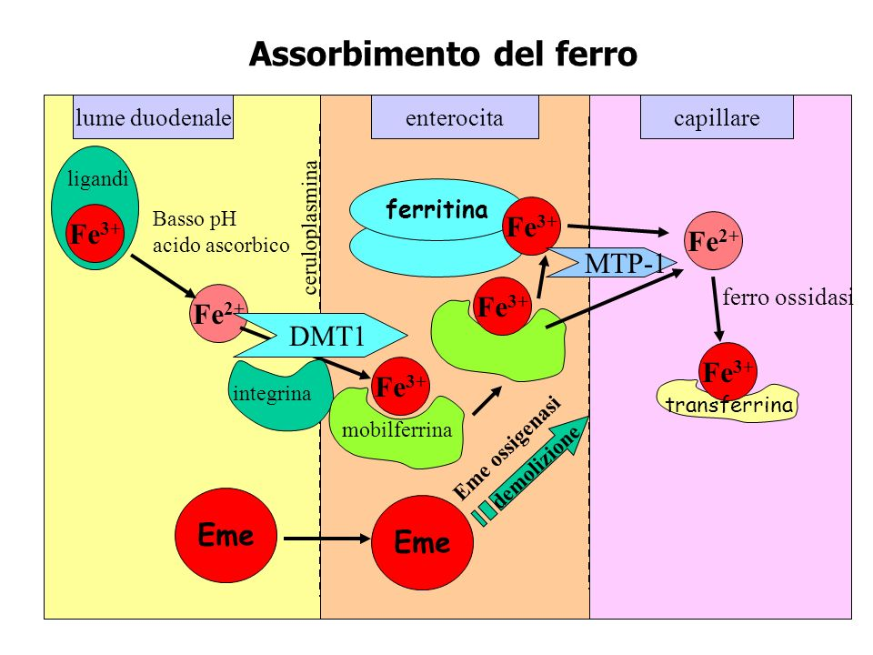 lume duodenalecapillareenterocita Fe 2+ Fe 3+ Fe 2+ Fe 3+ Assorbimento del ferro Basso pH acido ascorbico ligandi ceruloplasmina integrina mobilferrin