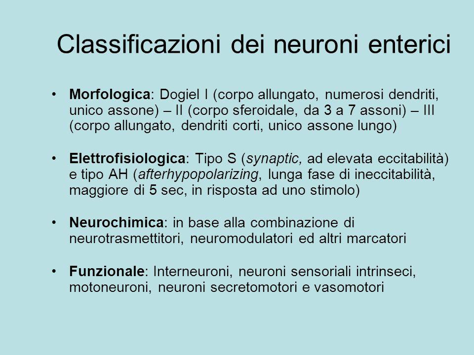 Classificazioni dei neuroni enterici Morfologica: Dogiel I (corpo allungato, numerosi dendriti, unico assone) – II (corpo sferoidale, da 3 a 7 assoni)