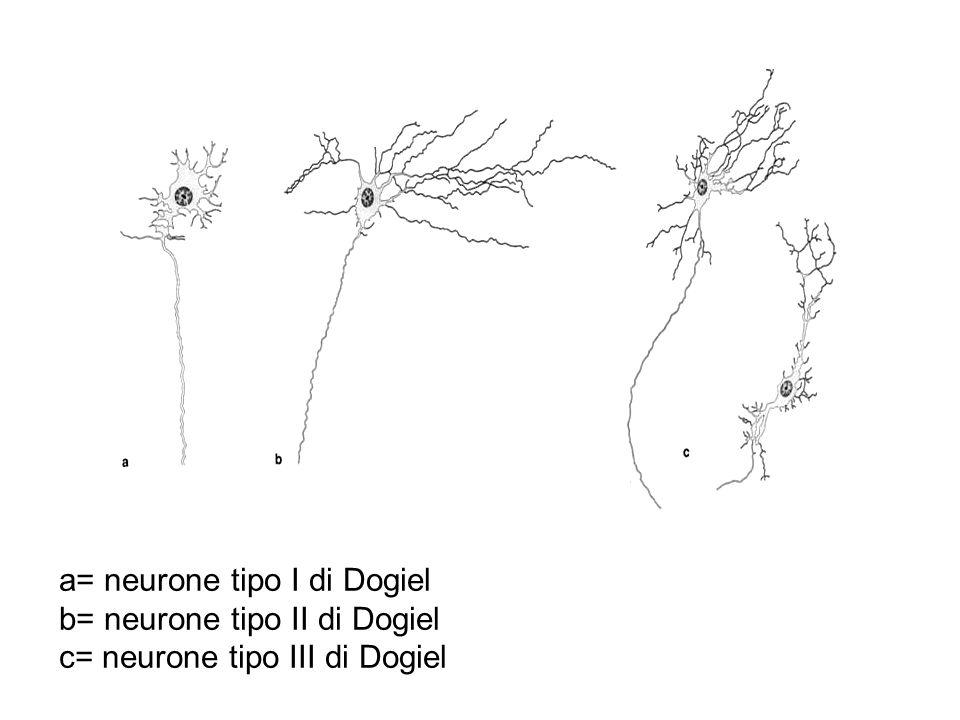 a= neurone tipo I di Dogiel b= neurone tipo II di Dogiel c= neurone tipo III di Dogiel