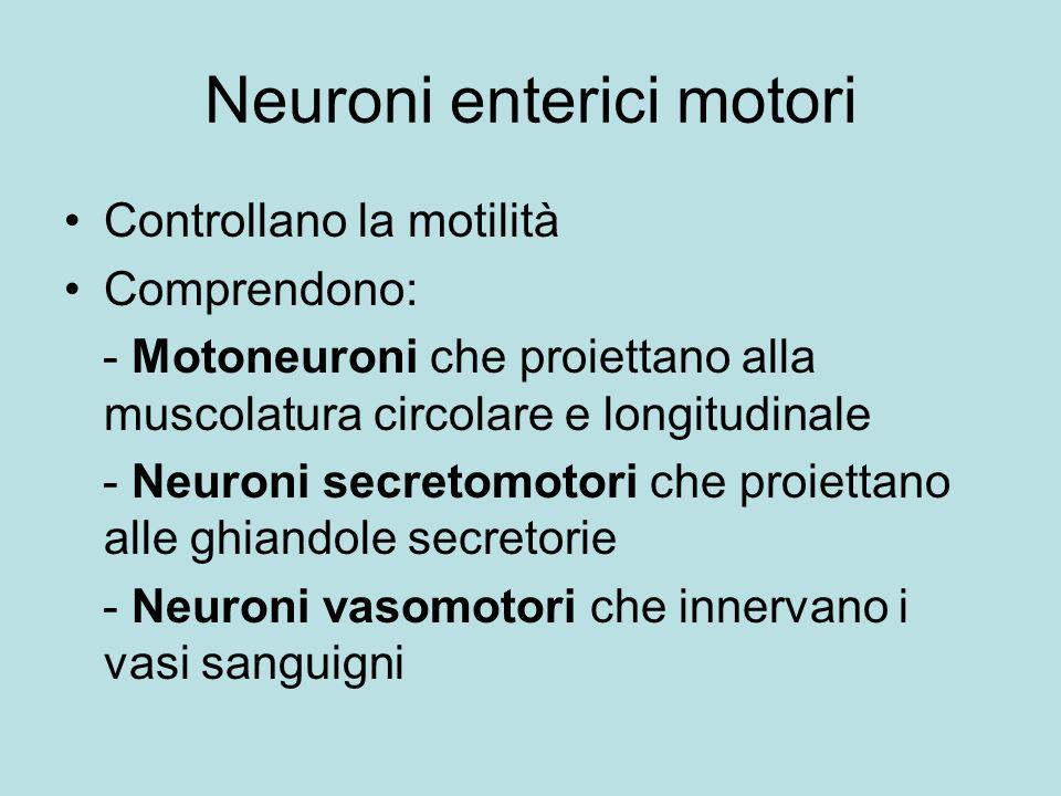 Neuroni enterici motori Controllano la motilità Comprendono: - Motoneuroni che proiettano alla muscolatura circolare e longitudinale - Neuroni secreto