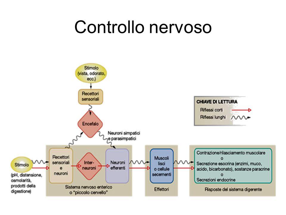 Controllo nervoso
