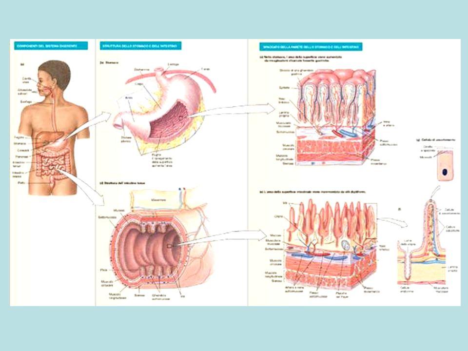 Interazioni tra i sistemi nervosi che controllano lapparato intestinale