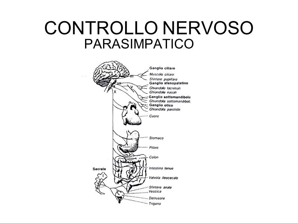 CONTROLLO NERVOSO PARASIMPATICO
