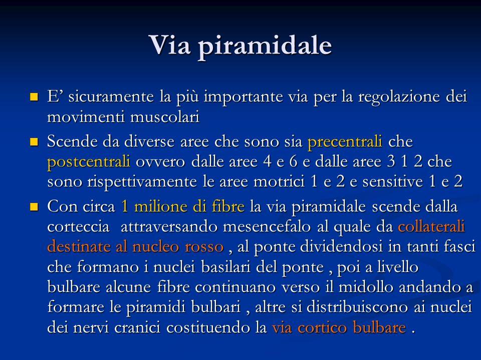 Via piramidale E sicuramente la più importante via per la regolazione dei movimenti muscolari E sicuramente la più importante via per la regolazione d