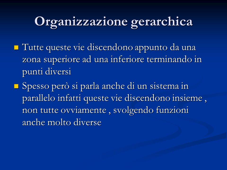 Organizzazione gerarchica Tutte queste vie discendono appunto da una zona superiore ad una inferiore terminando in punti diversi Tutte queste vie disc