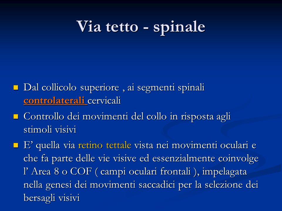 Via tetto - spinale Dal collicolo superiore, ai segmenti spinali controlaterali cervicali Dal collicolo superiore, ai segmenti spinali controlaterali