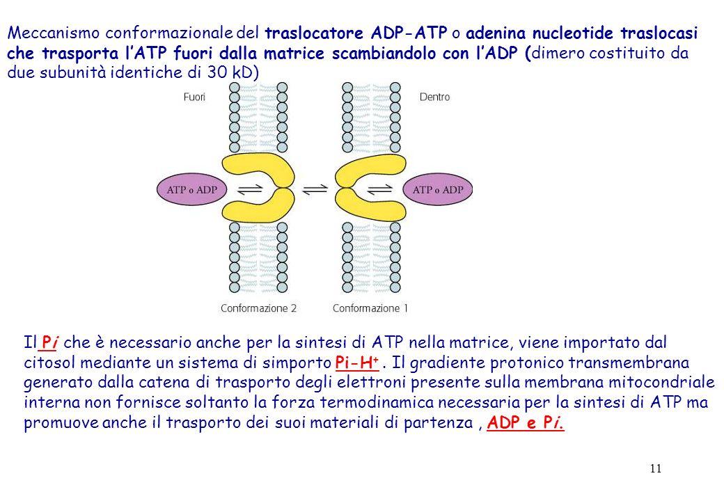 11 Meccanismo conformazionale del traslocatore ADP-ATP o adenina nucleotide traslocasi che trasporta lATP fuori dalla matrice scambiandolo con lADP (d