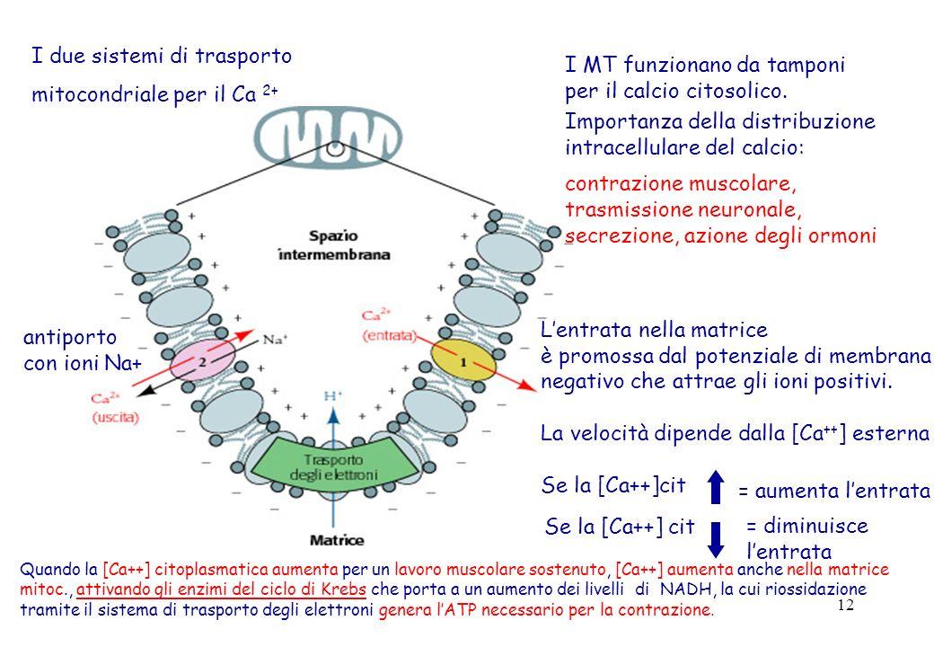 12 I due sistemi di trasporto mitocondriale per il Ca 2+ I MT funzionano da tamponi per il calcio citosolico. Importanza della distribuzione intracell