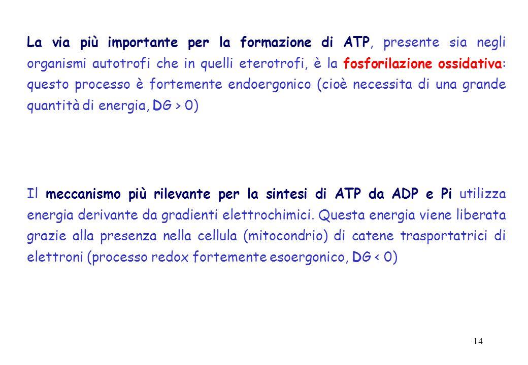 14 La via più importante per la formazione di ATP, presente sia negli organismi autotrofi che in quelli eterotrofi, è la fosforilazione ossidativa: qu