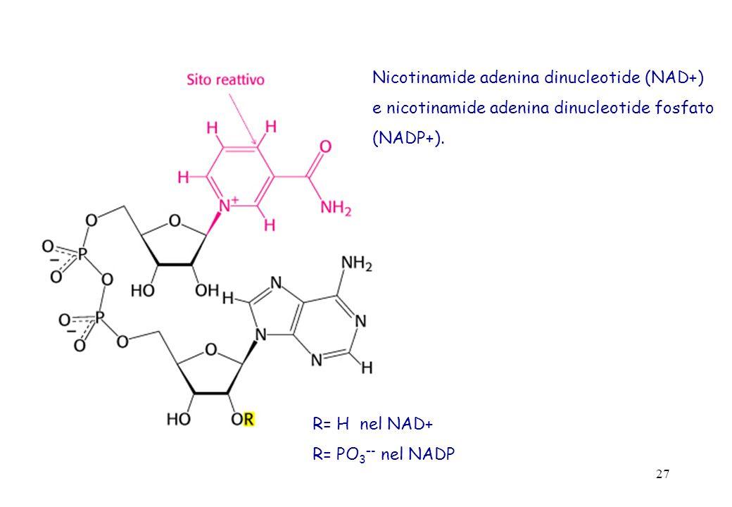 27 Nicotinamide adenina dinucleotide (NAD+) e nicotinamide adenina dinucleotide fosfato (NADP+). R= H nel NAD+ R= PO 3 –- nel NADP