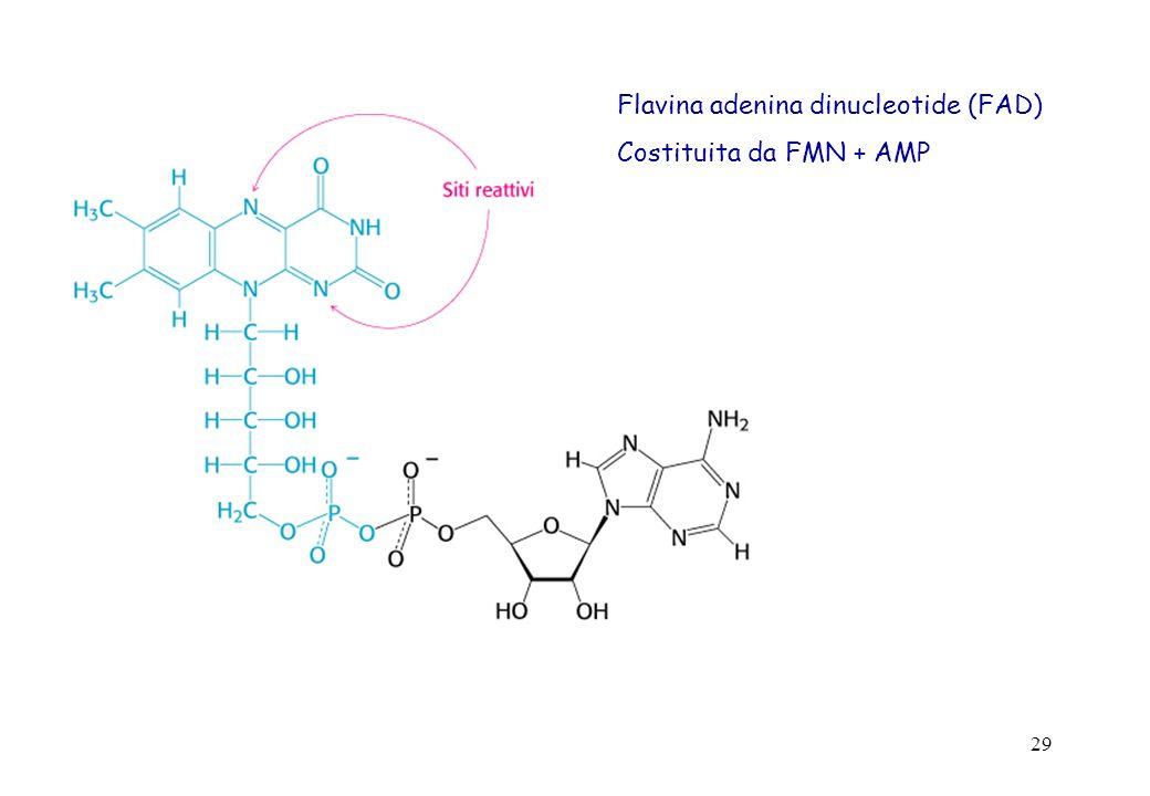 29 Flavina adenina dinucleotide (FAD) Costituita da FMN + AMP