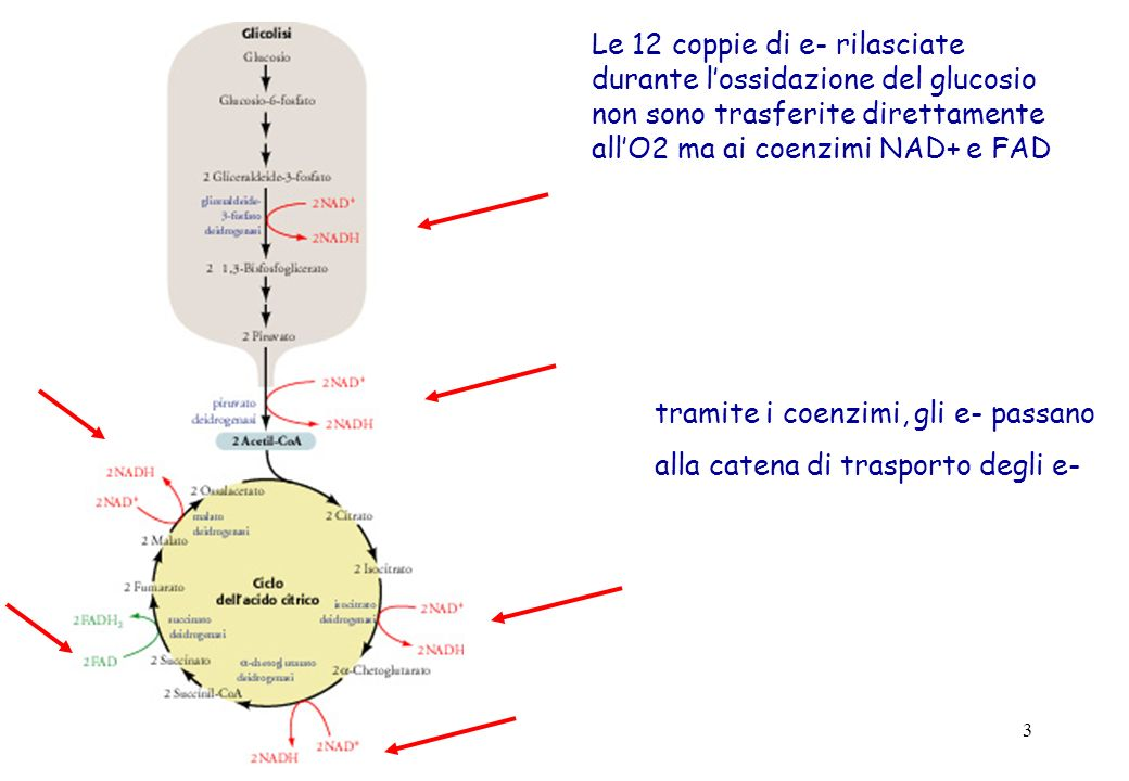3 Le 12 coppie di e- rilasciate durante lossidazione del glucosio non sono trasferite direttamente allO2 ma ai coenzimi NAD+ e FAD tramite i coenzimi,