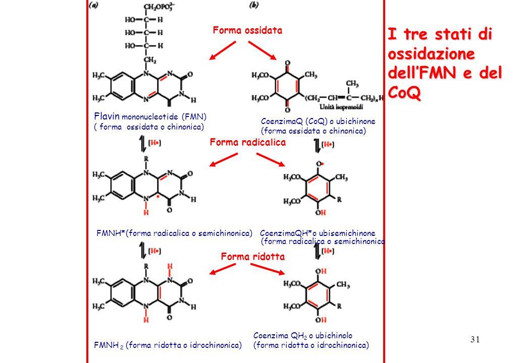 31 Forma ossidata Forma radicalica Forma ridotta Flavin mononucleotide (FMN) ( forma ossidata o chinonica) FMNH*(forma radicalica o semichinonica) Coe
