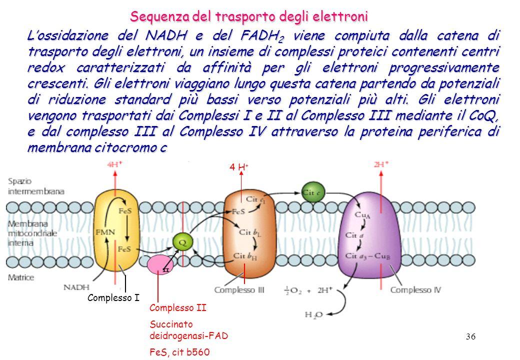 36 Lossidazione del NADH e del FADH 2 viene compiuta dalla catena di trasporto degli elettroni, un insieme di complessi proteici contenenti centri red
