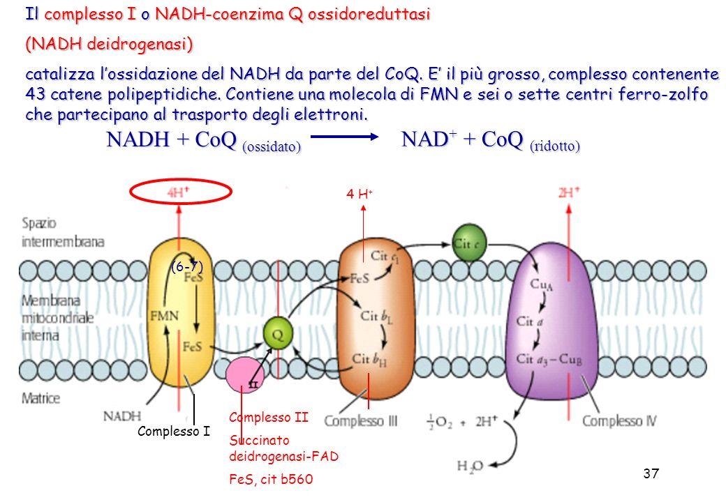 37 Il complesso I o NADH-coenzima Q ossidoreduttasi (NADH deidrogenasi) catalizza lossidazione del NADH da parte del CoQ. E il più grosso, complesso c