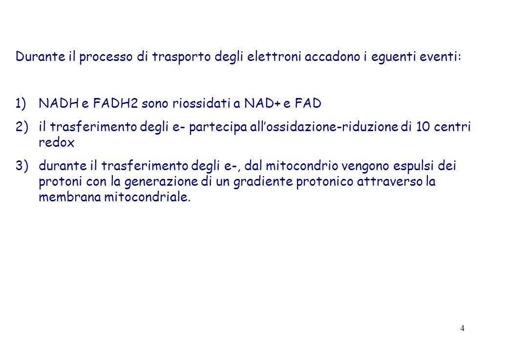4 Durante il processo di trasporto degli elettroni accadono i eguenti eventi: 1)NADH e FADH2 sono riossidati a NAD+ e FAD 2)il trasferimento degli e-