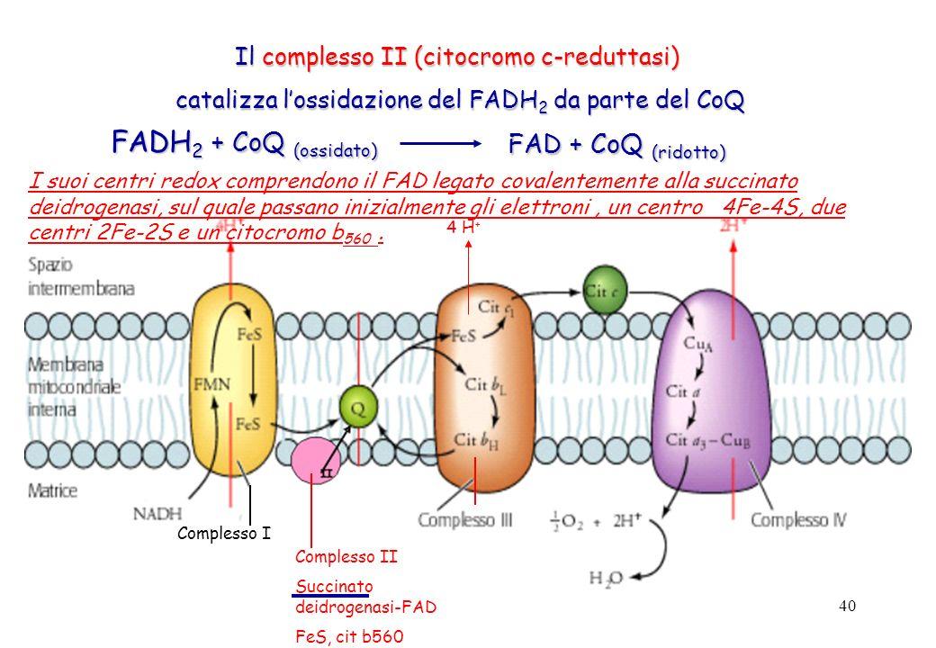 40 Il complesso II (citocromo c-reduttasi) catalizza lossidazione del FADH 2 da parte del CoQ catalizza lossidazione del FADH 2 da parte del CoQ FAD +