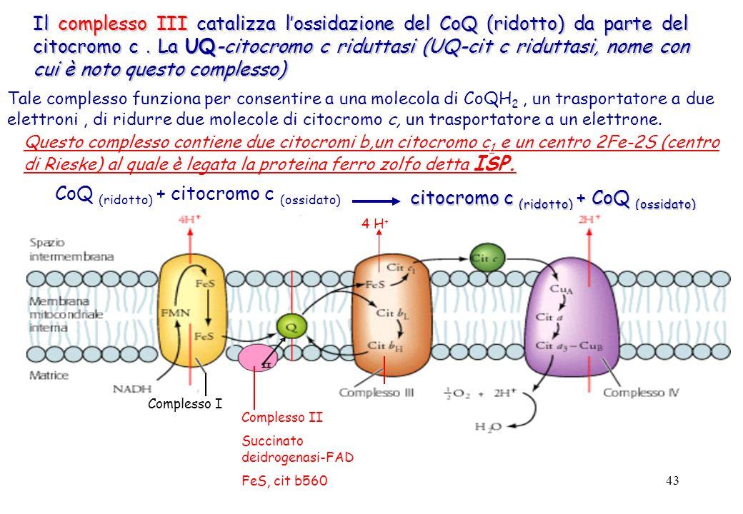 43 Il complesso III catalizza lossidazione del CoQ (ridotto) da parte del citocromo c. La UQ-citocromo c riduttasi (UQ-cit c riduttasi, nome con cui è
