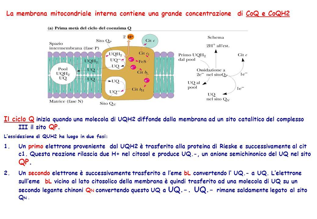 47 La membrana mitocondriale interna contiene una grande concentrazione di CoQ e CoQH2 Il ciclo Q inizia quando una molecola di UQH2 diffonde dalla me