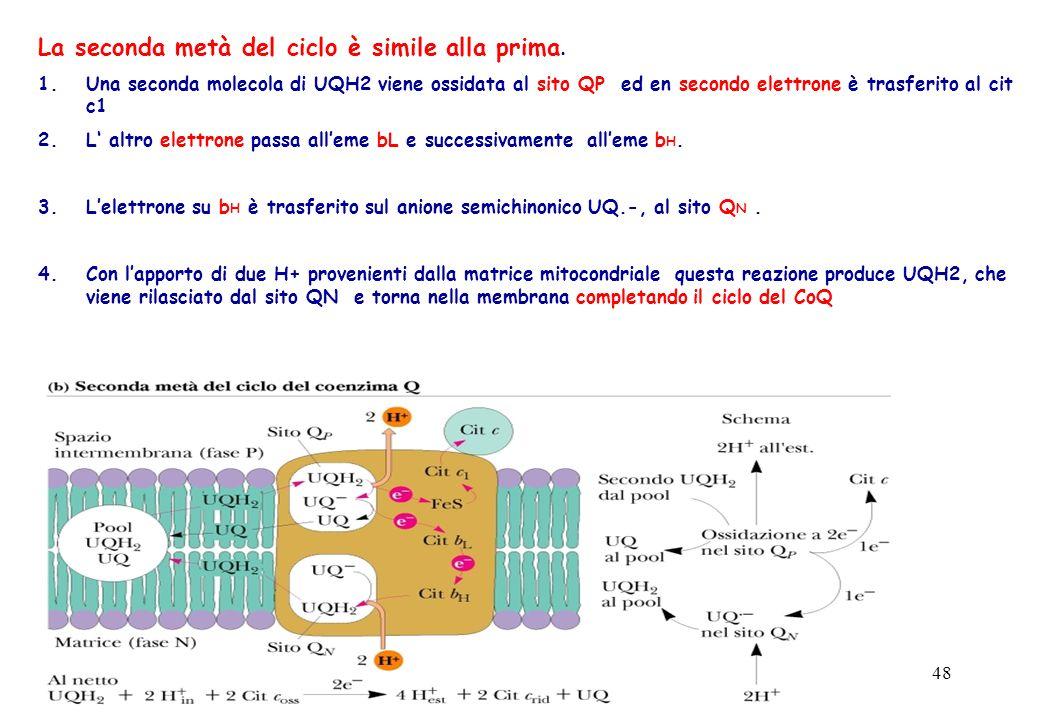 48 La seconda metà del ciclo è simile alla prima. 1.Una seconda molecola di UQH2 viene ossidata al sito QP ed en secondo elettrone è trasferito al cit