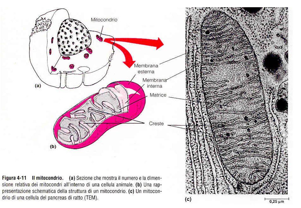 6 Struttura di un mitocondrio 50% lipidi, 50% proteine 80% proteine