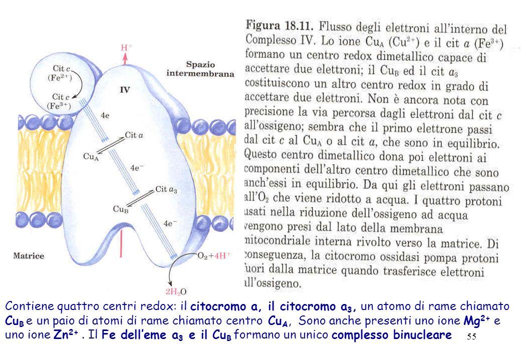 55 Contiene quattro centri redox: il citocromo a, il citocromo a 3, un atomo di rame chiamato Cu B e un paio di atomi di rame chiamato centro Cu A, So