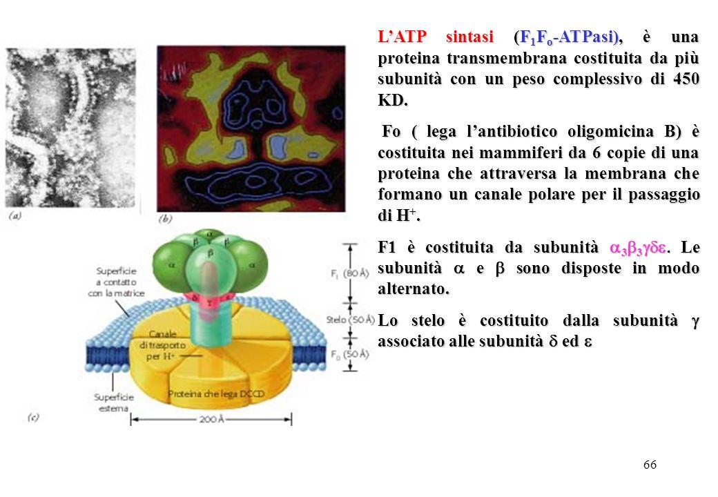 66 LATP sintasi (F 1 F o -ATPasi), è una proteina transmembrana costituita da più subunità con un peso complessivo di 450 KD. Fo ( lega lantibiotico o