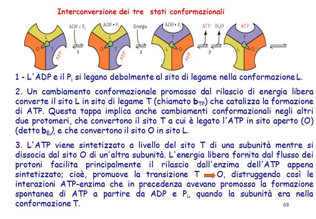 68 1 - L'ADP e il P i si legano debolmente al sito di legame nella conformazione L. 2. Un cambiamento conformazionale promosso dal rilascio di energia