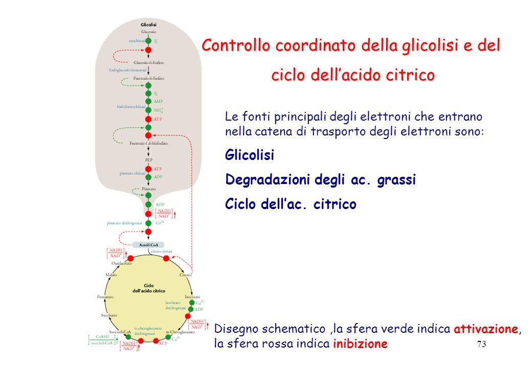 73 Controllo coordinato della glicolisi e del ciclo dellacido citrico Le fonti principali degli elettroni che entrano nella catena di trasporto degli