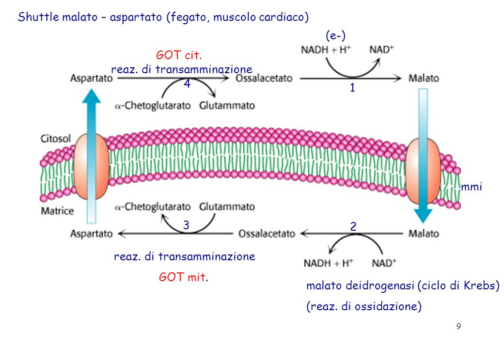 9 Shuttle malato – aspartato (fegato, muscolo cardiaco) (e-) 1 mmi malato deidrogenasi (ciclo di Krebs) (reaz. di ossidazione) 2 reaz. di transamminaz