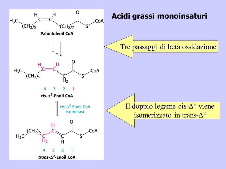 Acidi grassi monoinsaturi Tre passaggi di beta ossidazione Il doppio legame cis-Δ 3 viene isomerizzato in trans-Δ 2