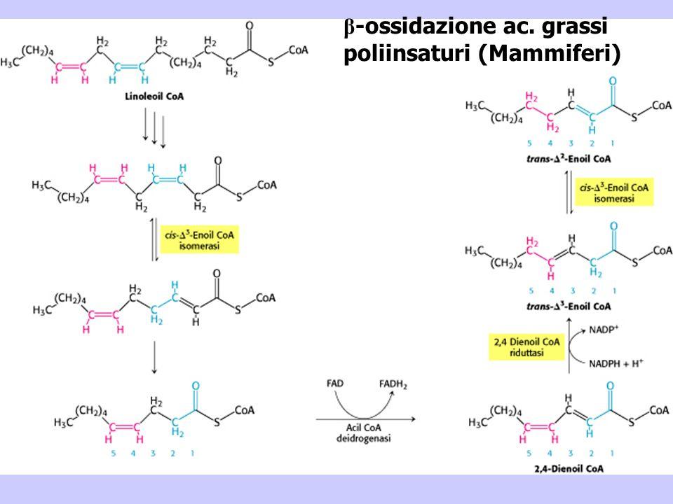 β -ossidazione ac. grassi poliinsaturi (Mammiferi)