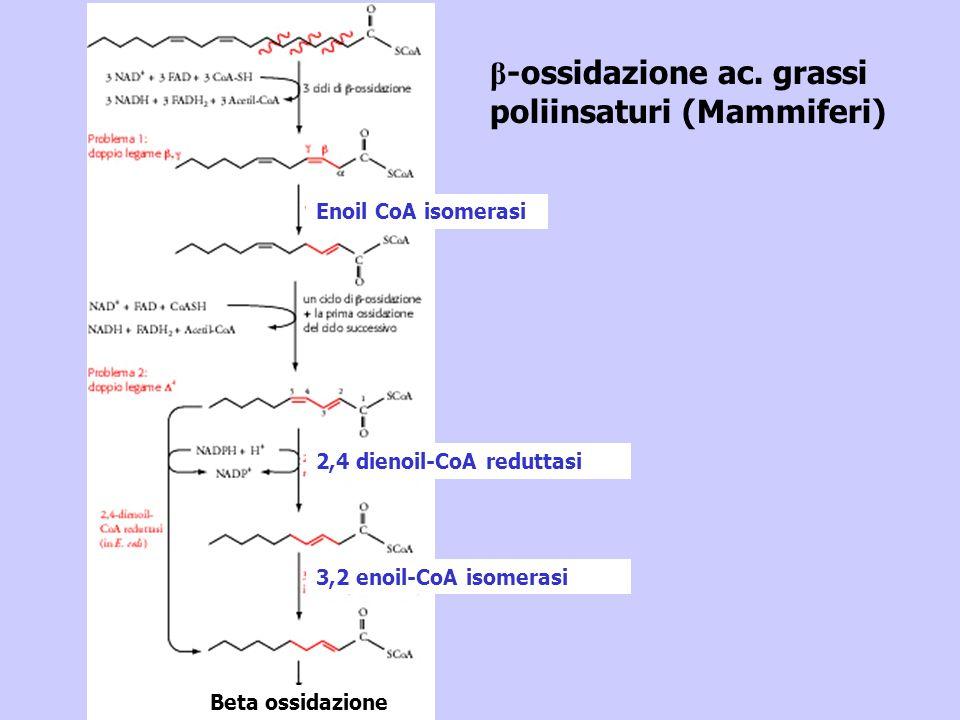 Enoil CoA isomerasi 2,4 dienoil-CoA reduttasi 3,2 enoil-CoA isomerasi Beta ossidazione