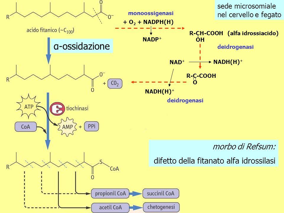 sede microsomiale nel cervello e fegato + O 2 + NADPH(H) monoossigenasi R-CH-COOH OH deidrogenasi NAD + NADH(H) + R-C-COOH O NADP + deidrogenasi NADH(