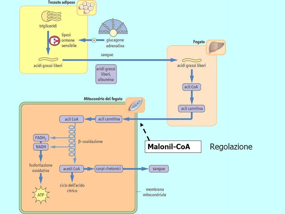 Malonil-CoA Regolazione