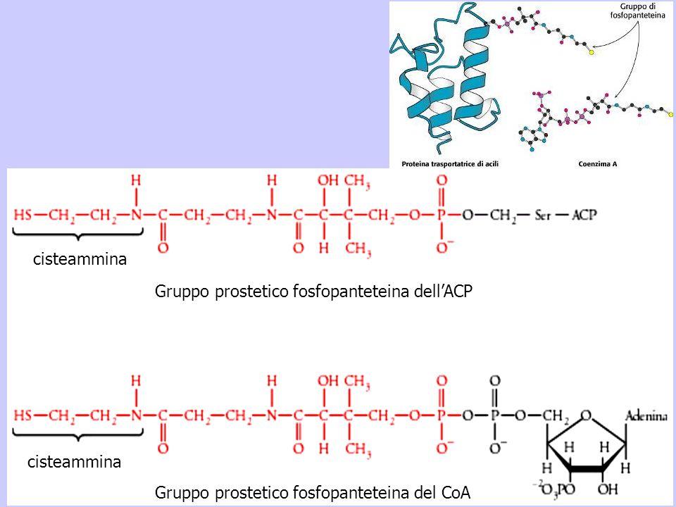 cisteammina Gruppo prostetico fosfopanteteina dellACP Gruppo prostetico fosfopanteteina del CoA