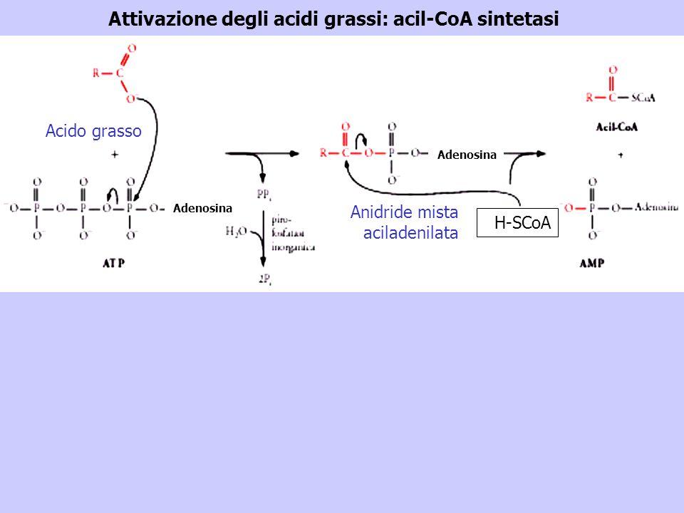 Attivazione degli acidi grassi: acil-CoA sintetasi Acido grasso H-SCoA Anidride mista aciladenilata Adenosina